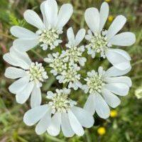 caucalis a grande fleur